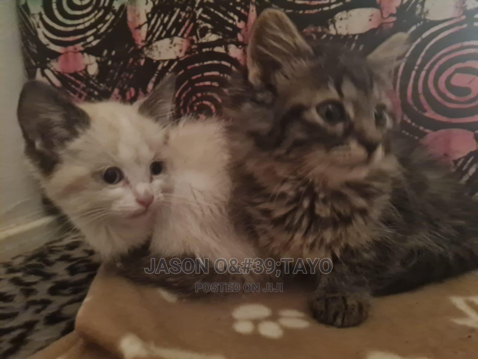 1-3 Month Female Purebred Ragdoll | Cats & Kittens for sale in Ikeja, Lagos State, Nigeria