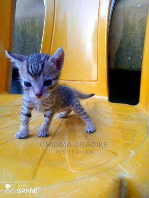 1-3 Month Male Mixed Breed American Shorthair   Cats & Kittens for sale in Lagos State, Victoria Island
