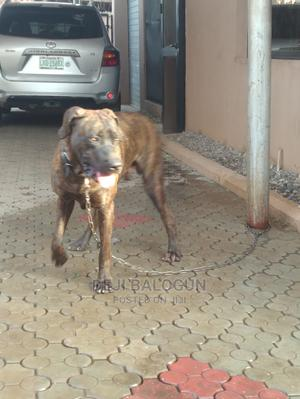 1+ Year Male Purebred Boerboel | Dogs & Puppies for sale in Ogun State, Obafemi-Owode