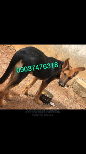 3-6 Month Male Purebred German Shepherd   Dogs & Puppies for sale in Kwara State, Asa