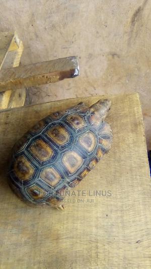 Tortoise for Sale | Reptiles for sale in Ogun State, Ilaro
