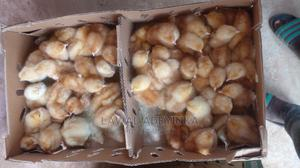 Dayold Chicks   Livestock & Poultry for sale in Oyo State, Ibadan