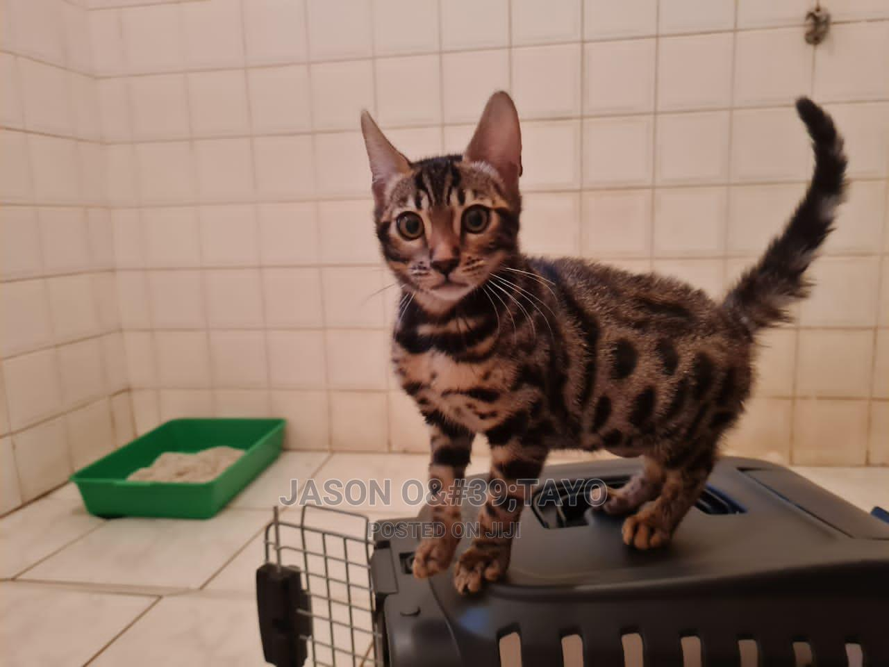 1-3 Month Male Purebred Bengal