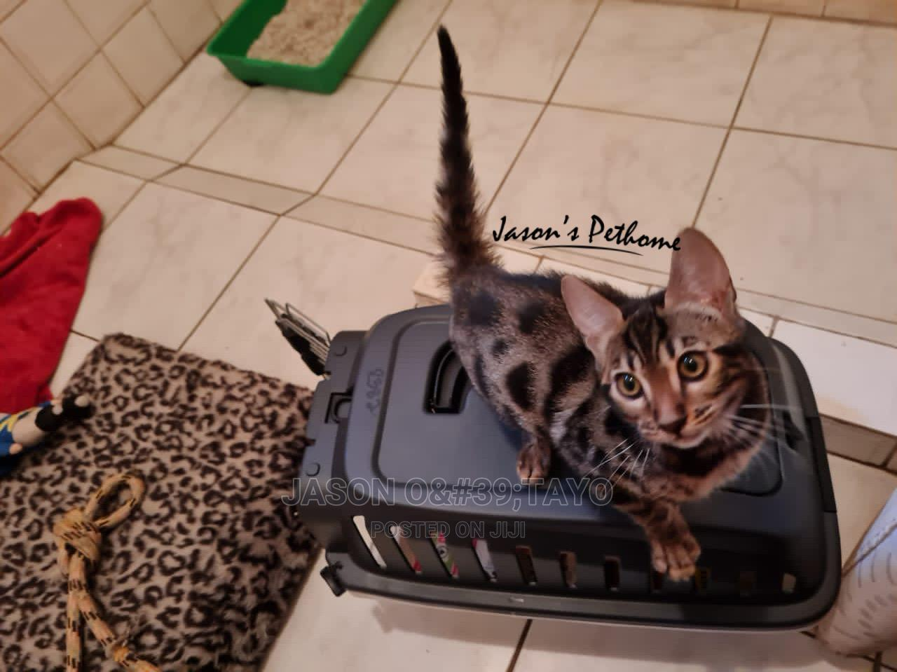 1-3 Month Male Purebred Bengal | Cats & Kittens for sale in Ikeja, Lagos State, Nigeria