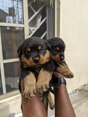 1-3 month Female Purebred Rottweiler   Dogs & Puppies for sale in Abuja (FCT) State, Gwarinpa