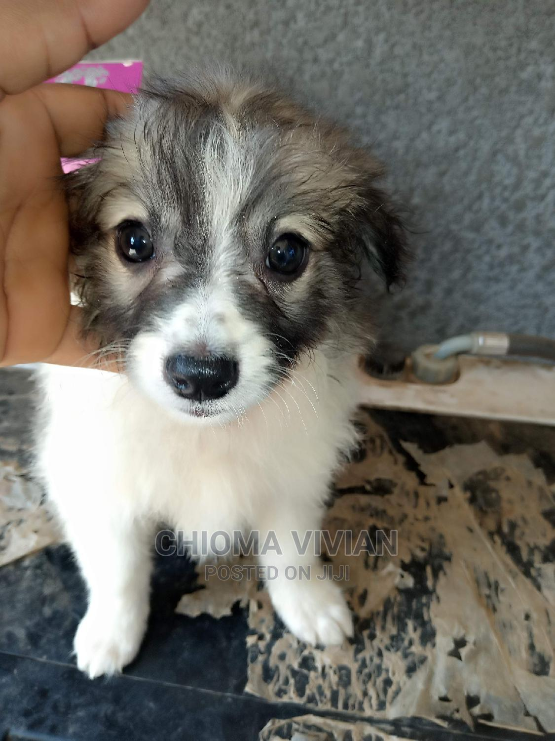 1-3 Month Male Purebred American Eskimo | Dogs & Puppies for sale in Jahi, Abuja (FCT) State, Nigeria