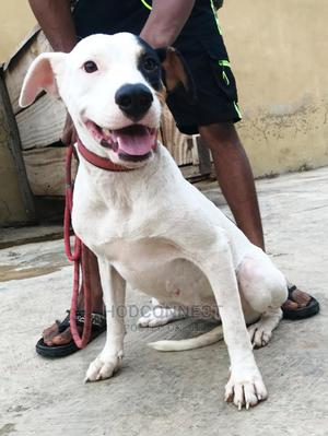 6-12 Month Female Purebred American Pit Bull Terrier | Dogs & Puppies for sale in Osun State, Osogbo