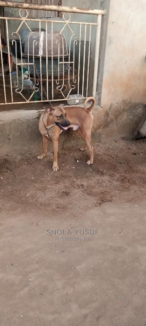 1+ Year Male Purebred Boerboel | Dogs & Puppies for sale in Lagos State, Ejigbo
