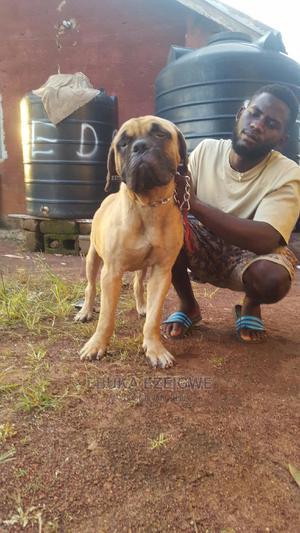 1+ Year Male Purebred Bullmastiff   Dogs & Puppies for sale in Enugu State, Enugu