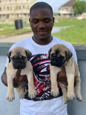 1-3 Month Female Purebred Bullmastiff | Dogs & Puppies for sale in Delta State, Ika South