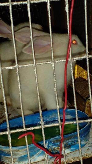 7 Weeks Rabbits For Sale In Ilesa Osun State   Livestock & Poultry for sale in Osun State, Ilesa