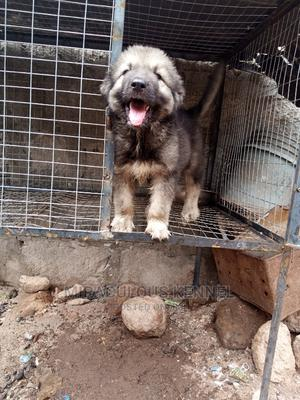 0-1 Month Male Purebred Caucasian Shepherd   Dogs & Puppies for sale in Delta State, Ika South