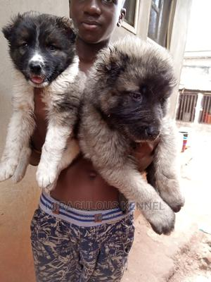 1-3 month Female Purebred Caucasian Shepherd   Dogs & Puppies for sale in Delta State, Ika South