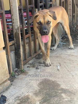 6-12 Month Female Purebred Boerboel | Dogs & Puppies for sale in Ogun State, Abeokuta South