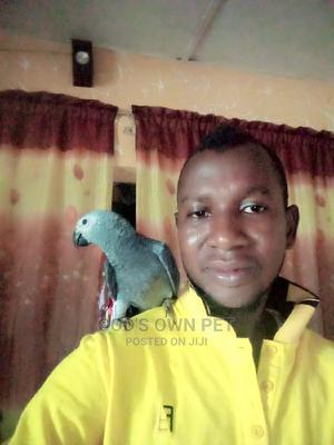 Well Healthy Africa Grey Parrots Is Available for Sales | Birds for sale in Lagos State, Ojo