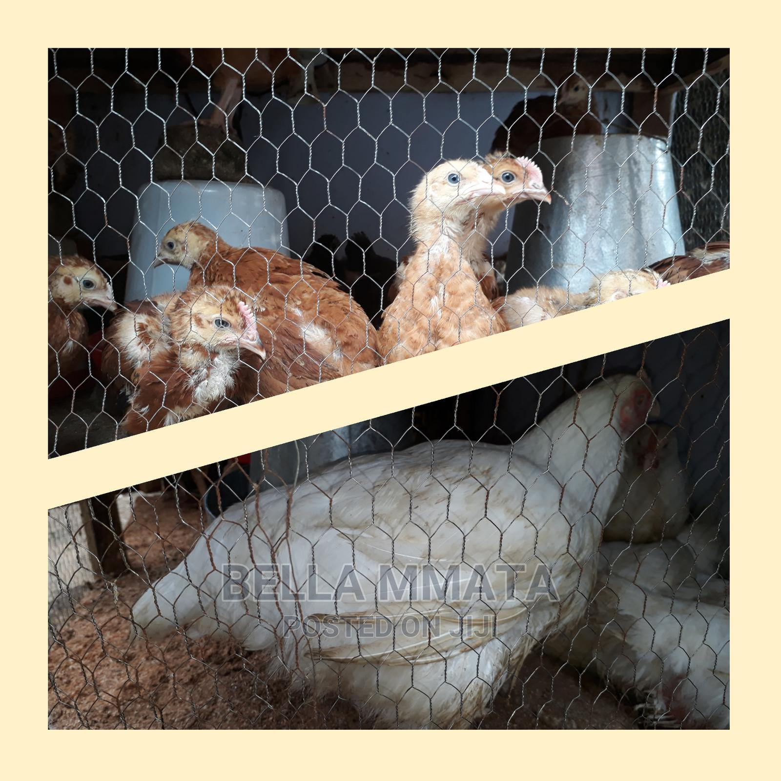 Broilers Chickens