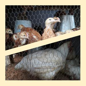 Broilers Chickens | Livestock & Poultry for sale in Rivers State, Port-Harcourt