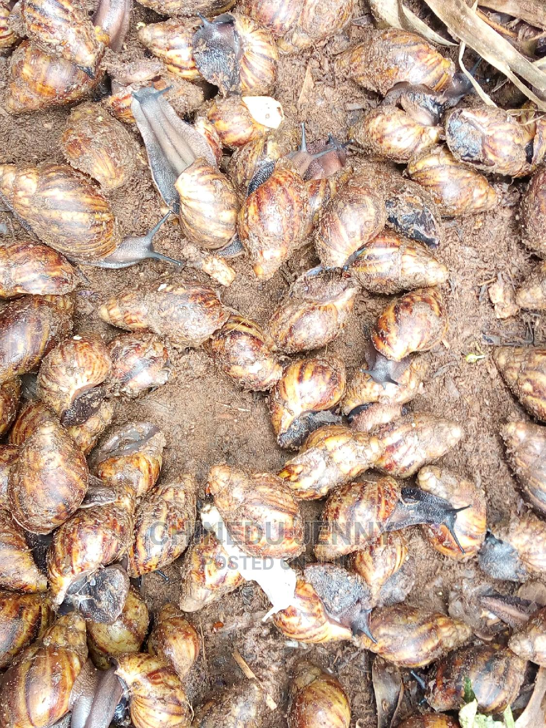 Healthy Grower Snails for Sale | Other Animals for sale in Ado-Odo/Ota, Ogun State, Nigeria