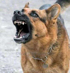 1+ Year Male Mixed Breed German Shepherd | Dogs & Puppies for sale in Rivers State, Port-Harcourt