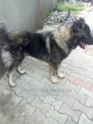 6-12 Month Male Purebred Caucasian Shepherd | Dogs & Puppies for sale in Rivers State, Port-Harcourt