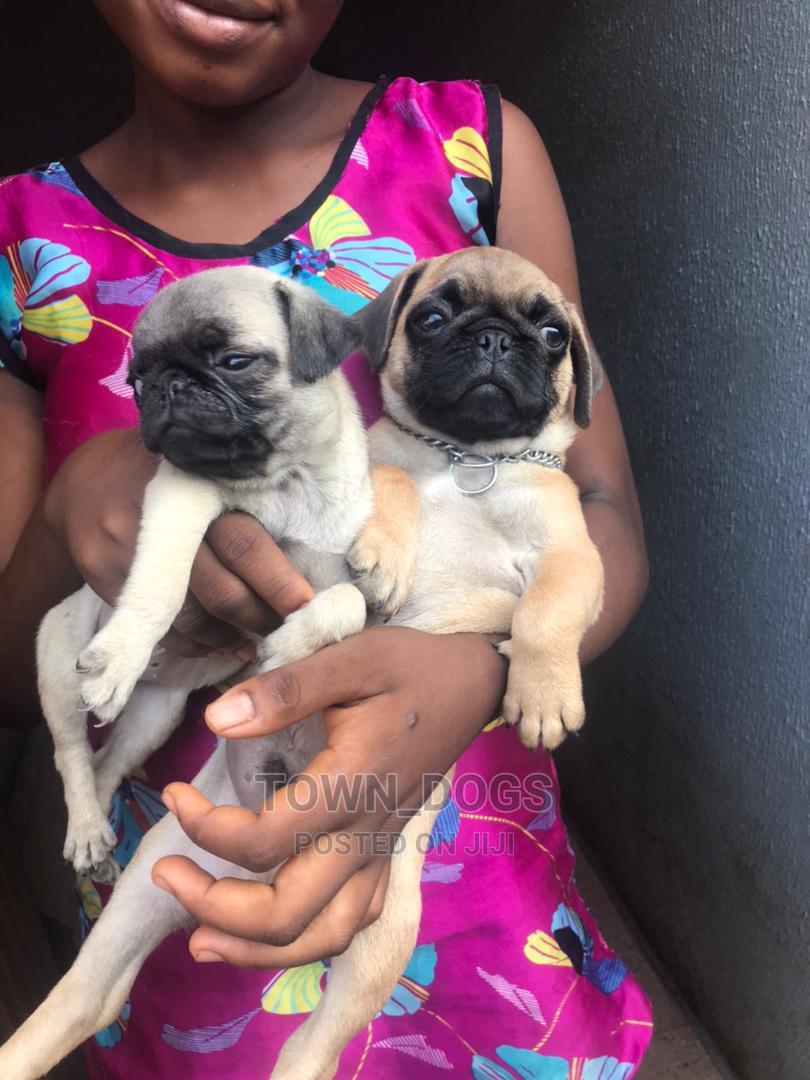 Archive: 1-3 Month Male Purebred Pug