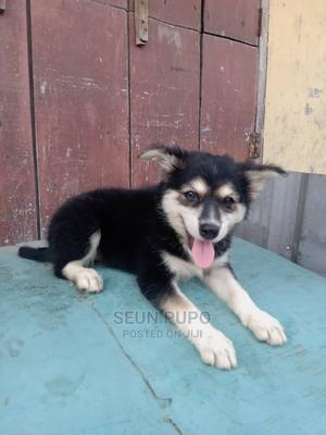 1-3 Month Male Mixed Breed American Eskimo   Dogs & Puppies for sale in Lagos State, Shomolu