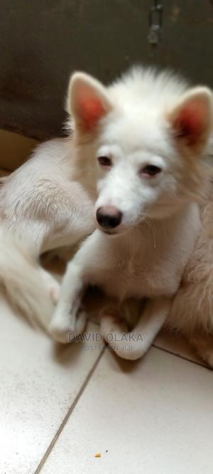 1+ Year Female Mixed Breed American Eskimo   Dogs & Puppies for sale in Rivers State, Port-Harcourt