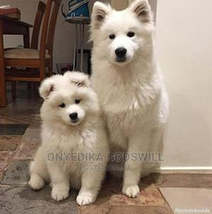 1-3 Month Male Purebred American Eskimo | Dogs & Puppies for sale in Akwa Ibom State, Uyo