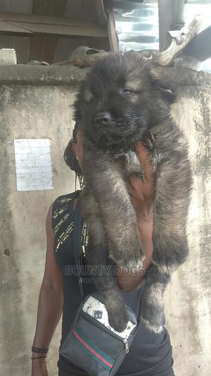 1-3 Month Male Purebred Caucasian Shepherd | Dogs & Puppies for sale in Lagos State, Magodo