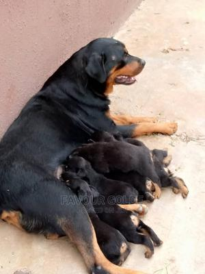 1-3 Month Female Purebred Rottweiler | Dogs & Puppies for sale in Lagos State, Surulere