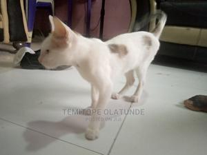 3-6 Month Male Mixed Breed Persian   Cats & Kittens for sale in Lagos State, Ojota