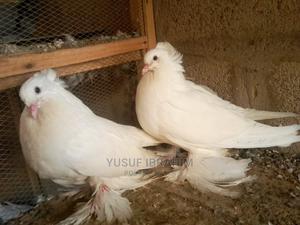 Hungarian Giant Pigeon | Birds for sale in Katsina State, Katsina