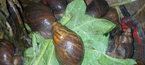 Speakersden Snail Farm (Jumbo Size) Abeokuta | Other Animals for sale in Ogun State, Abeokuta South