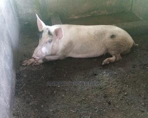 Large White Male And Pregnant Female Pig   Livestock & Poultry for sale in Delta State, Ika North East
