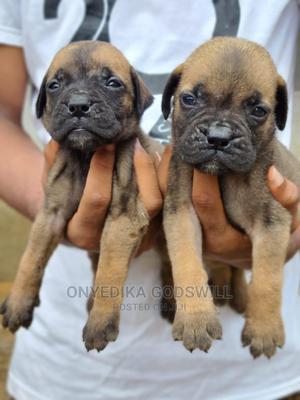 1-3 Month Female Purebred Bullmastiff | Dogs & Puppies for sale in Akwa Ibom State, Uyo