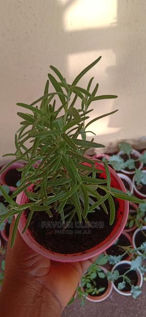 Rosemary Seedlings, Fresh Leaves and Dried Leaves | Feeds, Supplements & Seeds for sale in Lagos State, Ikotun/Igando