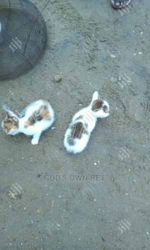 1-3 Month Male Mixed Breed Other | Cats & Kittens for sale in Lagos State, Ojo