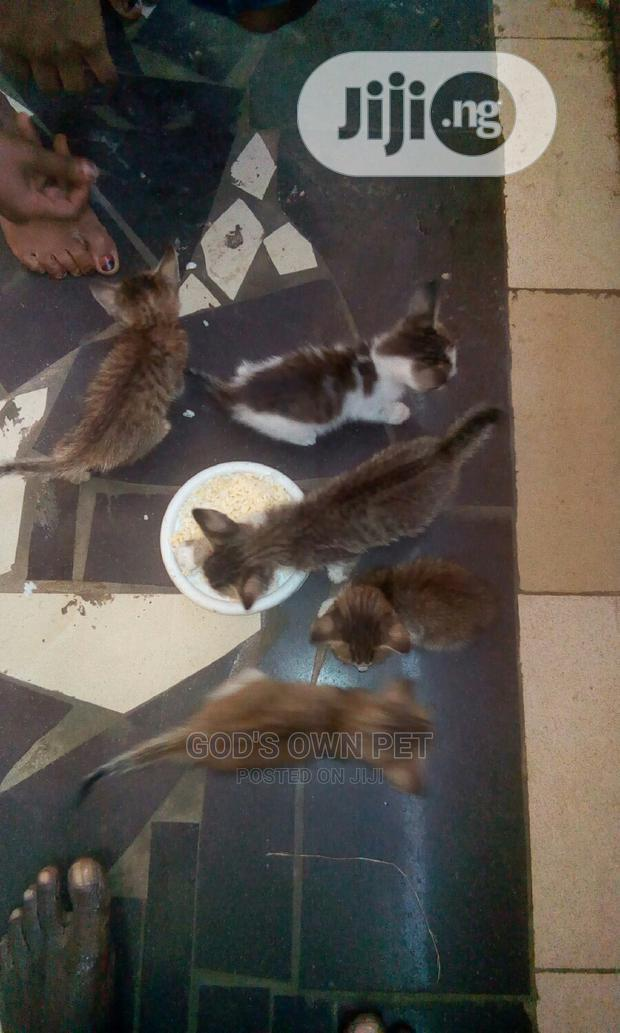 1-3 Month Male Mixed Breed Other | Cats & Kittens for sale in Ojo, Lagos State, Nigeria