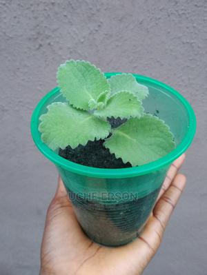 Herb Seedlings; Oregano/Sunflower More   Feeds, Supplements & Seeds for sale in Lagos State, Ajah