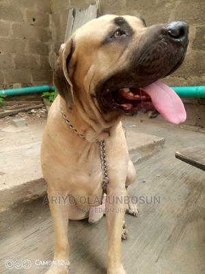 1+ Year Male Purebred Boerboel   Dogs & Puppies for sale in Lagos State, Ogba