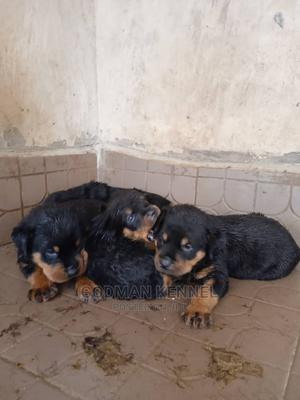 1-3 Month Female Purebred Rottweiler | Dogs & Puppies for sale in Enugu State, Enugu