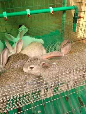 American Chinchillas | Livestock & Poultry for sale in Oyo State, Ibadan