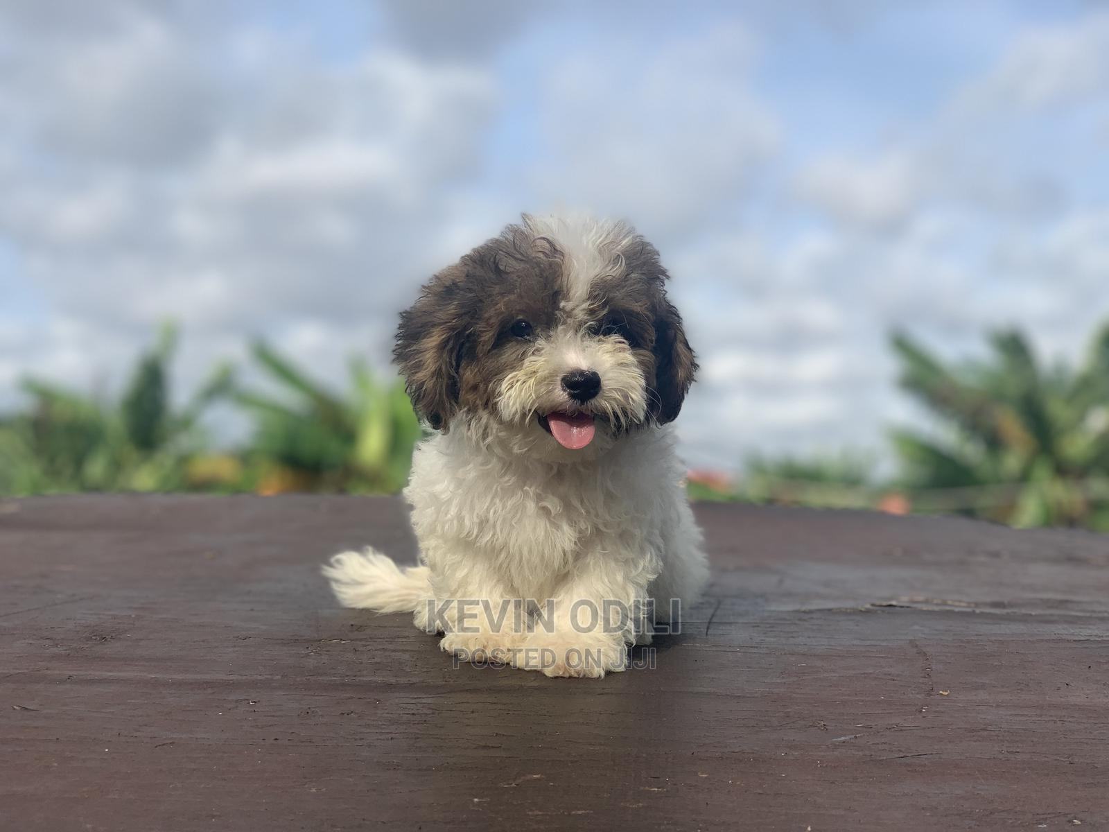3-6 Month Male Purebred Lhasa Apso   Dogs & Puppies for sale in Ikeja, Lagos State, Nigeria