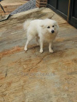 1+ Year Male Purebred American Eskimo | Dogs & Puppies for sale in Lagos State, Ojodu