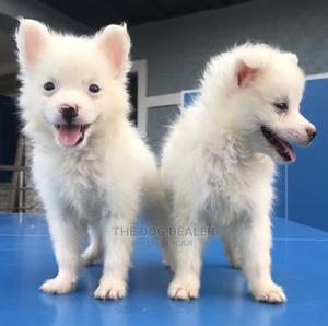 1-3 Month Female Purebred American Eskimo | Dogs & Puppies for sale in Lagos State, Magodo