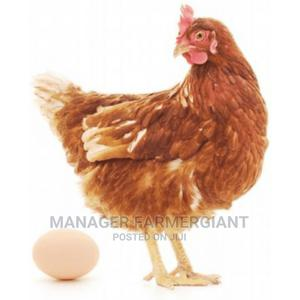 Point of Lay | Livestock & Poultry for sale in Abuja (FCT) State, Orozo