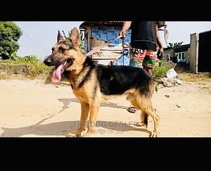 1+ Year Male Purebred German Shepherd | Dogs & Puppies for sale in Lagos State, Ojodu