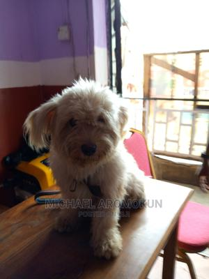3-6 Month Male Purebred Lhasa Apso   Dogs & Puppies for sale in Ogun State, Abeokuta South