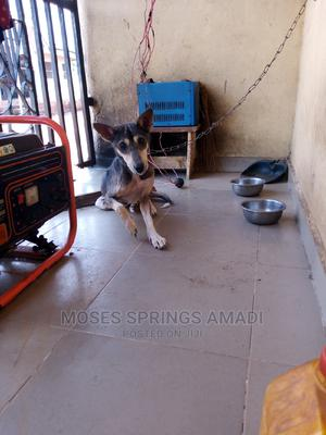 3-6 Month Male Mixed Breed German Shepherd | Dogs & Puppies for sale in Edo State, Benin City