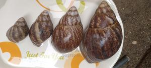 Snail For Sale   Other Animals for sale in Abuja (FCT) State, Garki 2